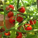 Eigene Gartentomaten schmecken toll