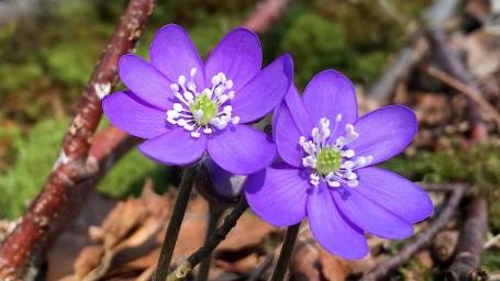 Das Leberblümchen wächst gerne an trockenen und sonnigen Stellen im Wald